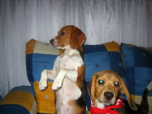 Beagles-Cookie-y-Chester