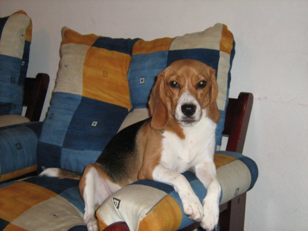 Cookie-beagle-Costa_Rica
