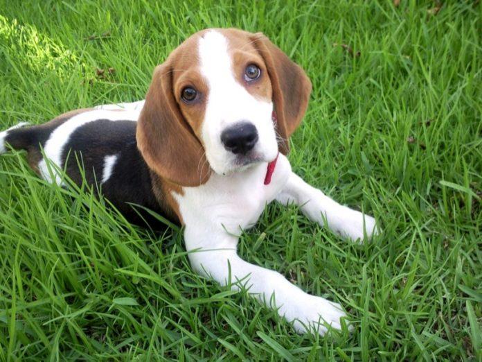 beagle-Bruno-en-la-hierbabeagle-Bruno-en-la-hierba