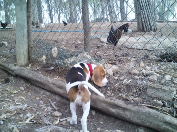 beagle-Bruno-y-gallinas