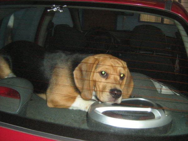 beagle-Chester-coche-Costa_Rica