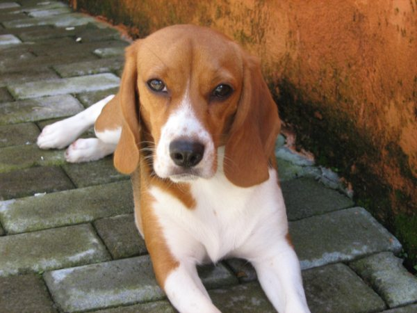 beagle-Cookie-echada-Costa_Rica