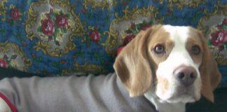 beagle-Odie-con-abrigo
