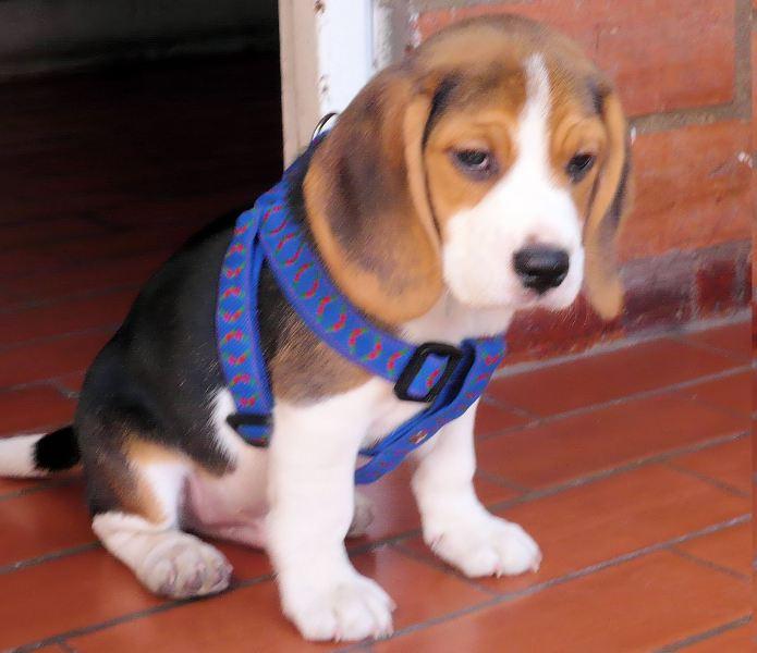 bruno_2M (perros beagle)
