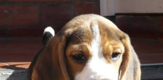 bruno_2M (perros-beagle)