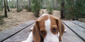 perro-beagle-Bruno-Jerez-de-la-Frontera