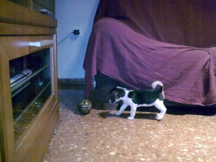 Lluna-cachorrita-beagle-jugando