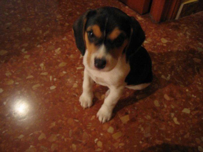 Lluna-cachorrita-beagle-sentada