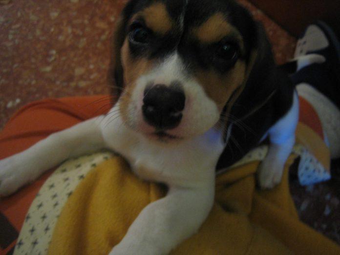 Lluna-cachorrita-beagle
