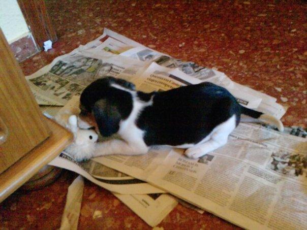 Lluna-cachorrita-beagle-periodicos