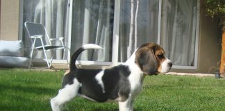 beagle-Matilda-Santiago-Chile