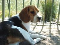 beagle-Matilda-descansando-Santiago-Chile
