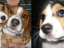 beagles-Bash-Tuxi