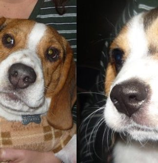 beagles-Bash-Tuxi