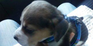 cachorrita-beagle-Kima-Canarias