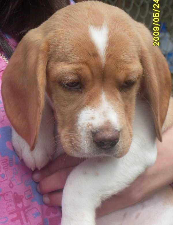cachorrita-beagle-TITA-Bogotá-Colombia