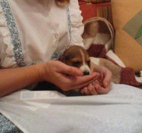 cachorro-beagle-Kima-Canarias