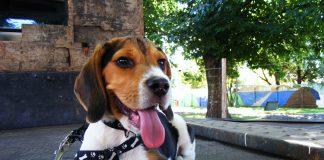 cachorro-tricolor-Lennon-echado