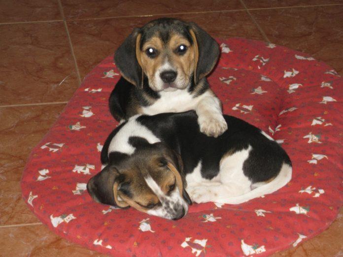 cachorros-Luna-Bosco-canasto