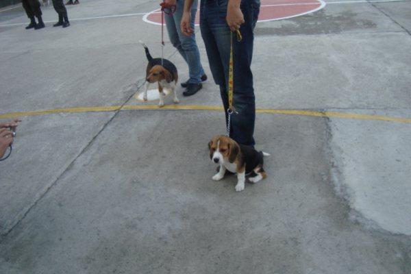 perrita-beagle-Kiara-sentada