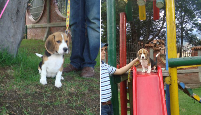 perrita-beagle-Kiara-divirtiendose