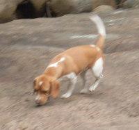 perrita-beagle-TITA-siguiendo-rastro
