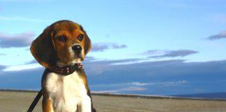 mascota-beagle-Rex-Punta-Arenas-Chile-2