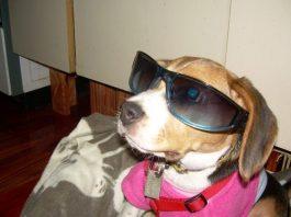 Emma-beagle-de-Argentina-con-gafas