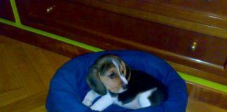 cachorra-Beagle-KIRA-Madrid-canasto