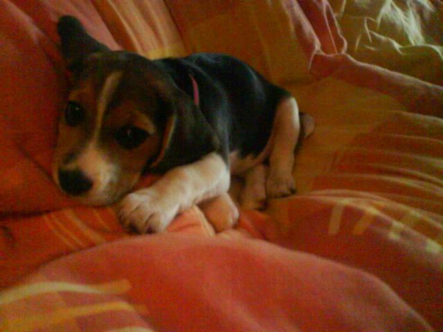 cachorra-Beagle-KIRA-Madrid-echada