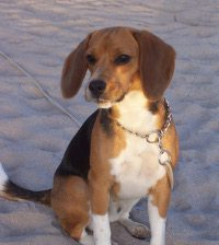 Akamaru-beagle-de-Chile-en-la-playa