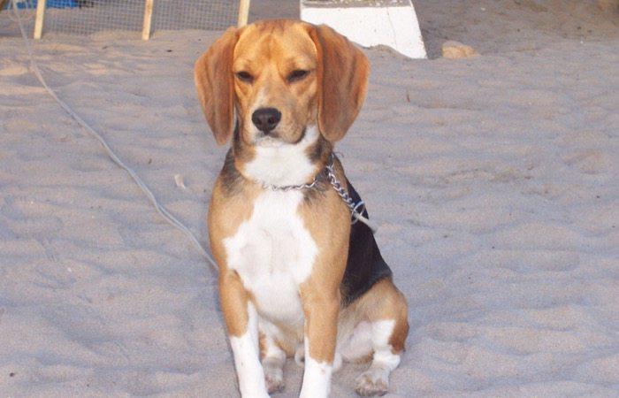 Akamaru-beagle-de-Chile-sentado