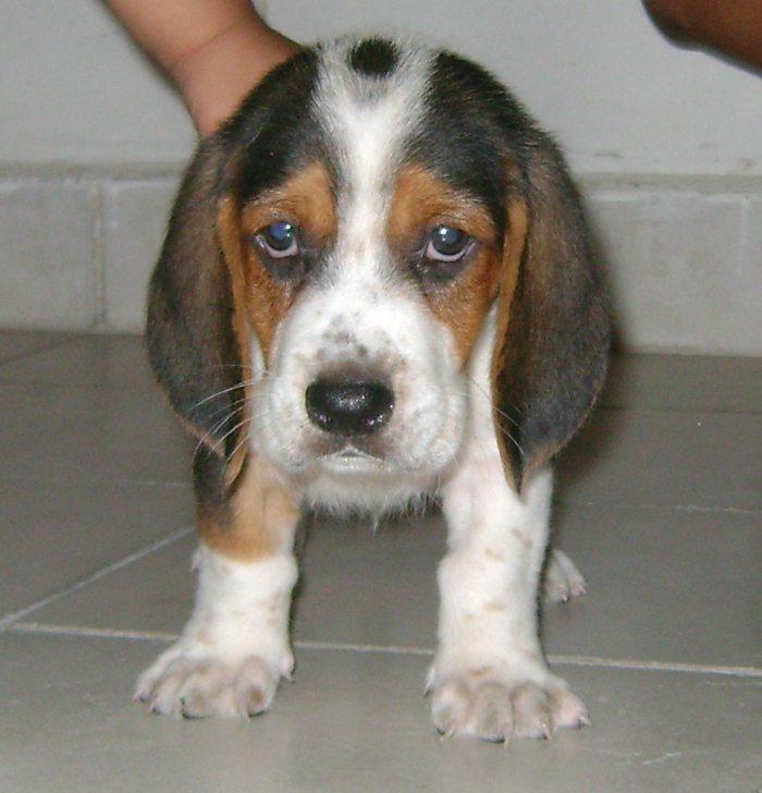 Beagle-Lukas-cachorro-Colombia