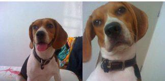 Dana-beagle-de-Mexico-Acapulco
