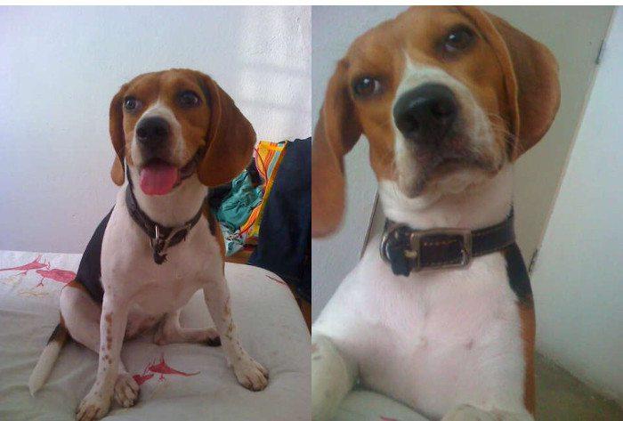 Dana perrita beagle de México, Acapulco