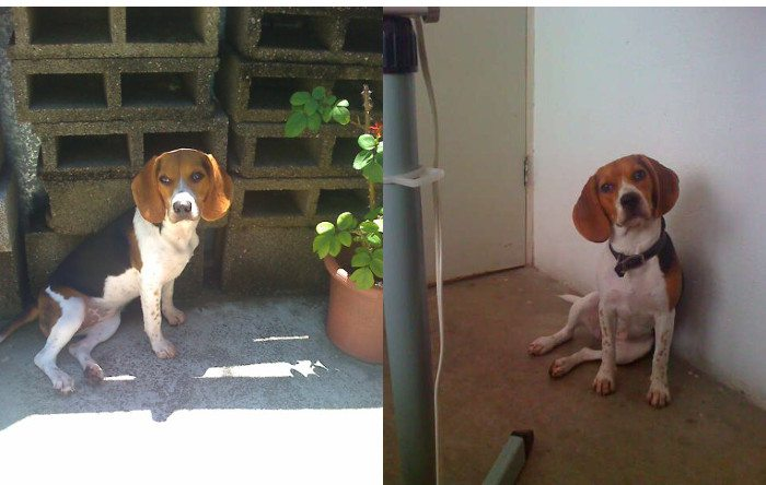 Dana-beagle-patio-sentada