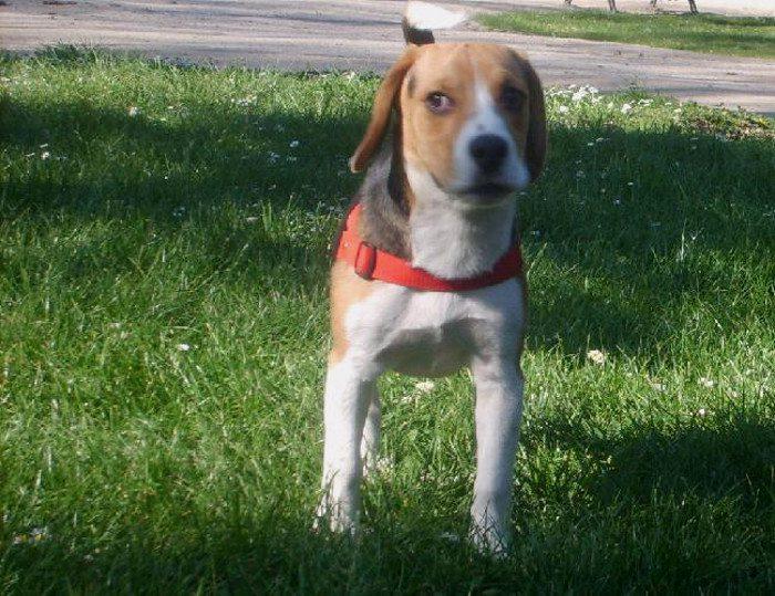 Dimmu-perro-beagle-Chile