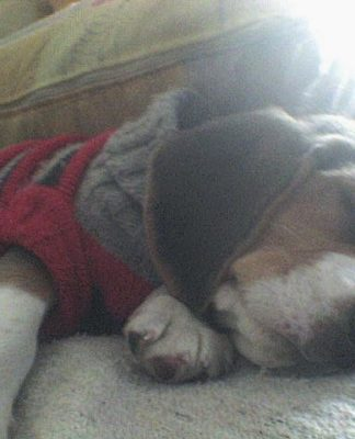 Fidel-cachorro-beagle-duerme