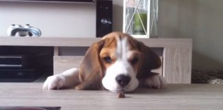Louie-video-chistoso-beagle