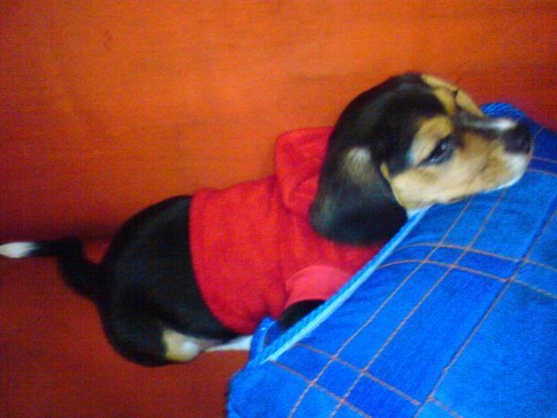 Lulu-perrita-beagle-con-suerter-rojo