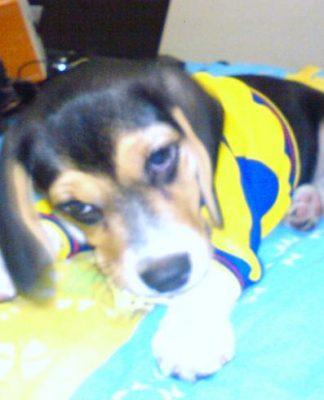 Lulu-perrita-beagle-traviesa