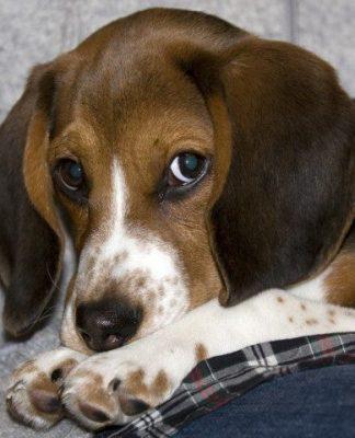Nemo-perro-beagle-cachorro