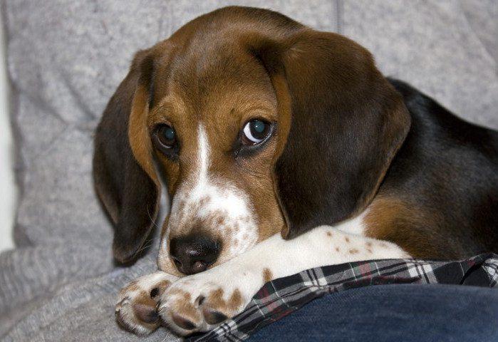 Nemo y la talla de perros beagle