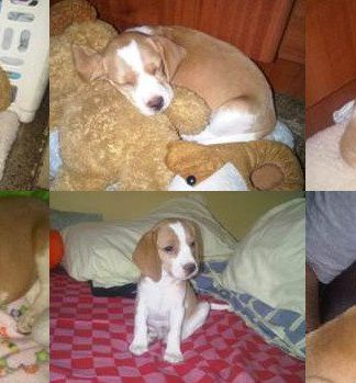 Tata con sus peluches-beagle-bicolor