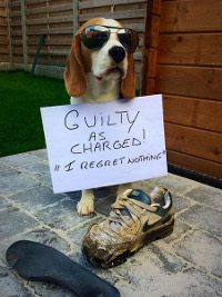 beagle-Louie-culpable