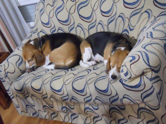 beagles-Garret-y-Gala-durmiendo