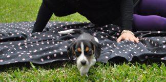 Apolo cachorro beagle de Perú