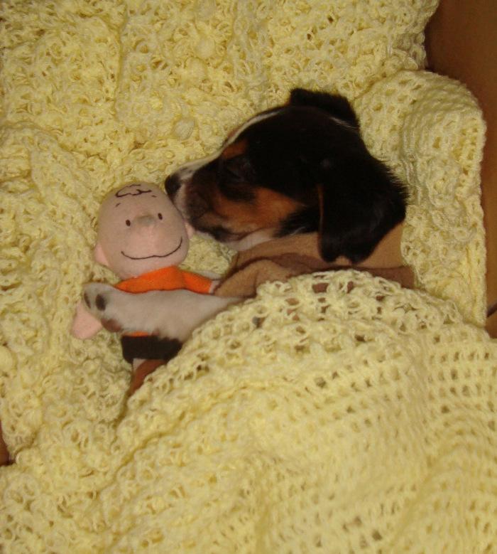 Apolo-cachorro-beagle-duerme