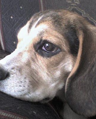 Hanna y los beagles robados