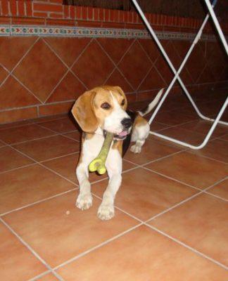 Keiko, perro beagle de Sevilla